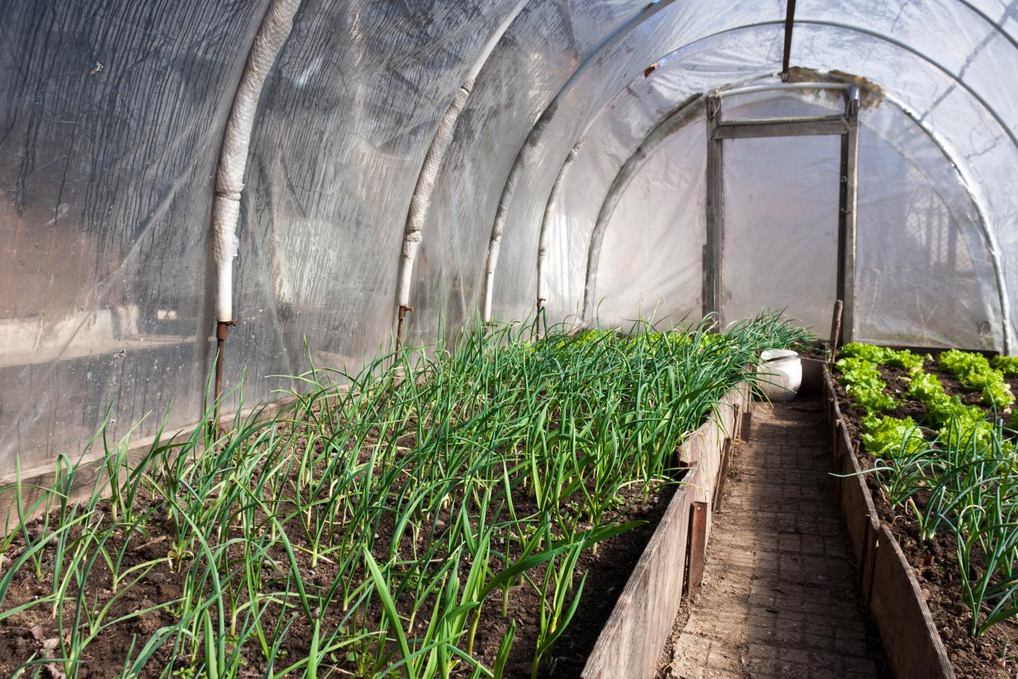 Бизнес по выращиванию зеленого лука 8